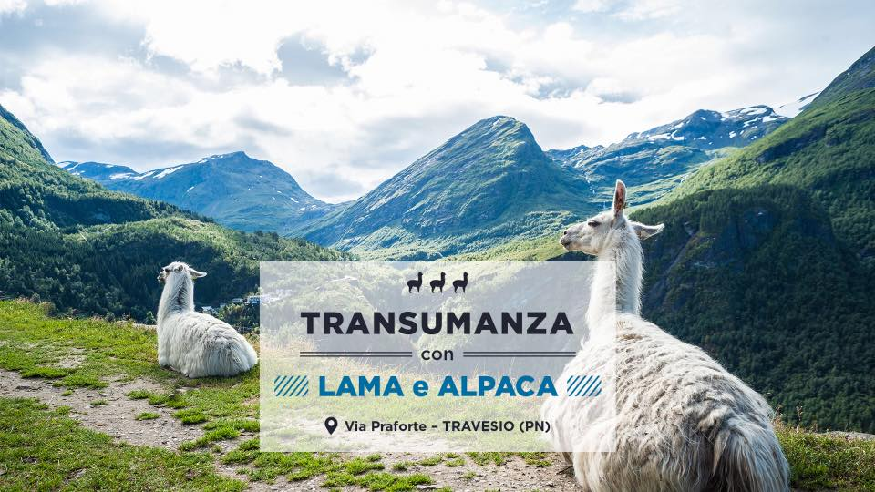 Transumanza con lama e alpaca